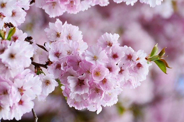 It's Almost Time for the National Cherry Blossom Festival